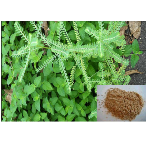 phyllanthus-amarus-extract-Brawn-Cosmetics-and-herbals-herbal-extracts